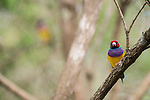 """The Gouldian finch (Erythrura gouldiae), also known as the Lady Gouldian finch, Gould's finch or the rainbow finch, is a colourful passerine bird endemic to Australia. There is strong evidence of a continuing decline, even at the best-known site near Katherine in the Northern Territory. Large numbers are bred in captivity, particularly in Australia. In the state of South Australia, National Parks & Wildlife Department permit returns in the late 1990s showed that over 13,000 Gouldian finches were being kept by aviculturists. If extrapolated to an Australia-wide figure this would result in a total of over 100,000 birds. In 1992, it was classified as """"endangered in the wild"""" under IUCN's criteria C2ai. This was because the viable population size was estimated to be less than 2,500 mature individuals, no permanent subpopulation was known to contain more than 250 mature individuals, and that a continuing decline was observed in the number of mature individuals. It is currently subject to a conservation program."""