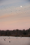 Columbia Ranch, Brazoria County, Damon, Texas; a large flock of black birds flying past the rising moon over a lake at sunset