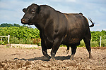 20110621Black Angus Cattle