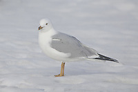 Ring-billed Gull on ice
