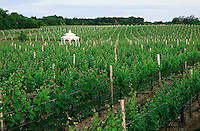 Pellegrini Vineyard, Cutchogue, New York, USA