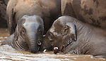 Asian elephants, Bandhavgarh National Park, India