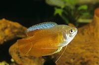 Roter Zwergfadenfisch, Zwerg-Fadenfisch, Zuchtform, Trichogaster lalius, Colisa lalia, Dwarf gourami, Flame Gourami, Le Gourami nain, Labyrinthfische, Fadenfische