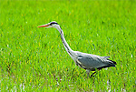 Grey heron, Ardea cinerea, Andalusia, Andalucia, in grass marshfield, marshes, green. .Spain....