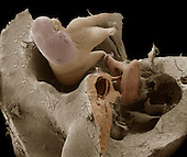 Human middle ear anatomy showing the malleus, incus, and stapes bones that conduct vibrations from the eardrum to the oval window.   These bones are the smallest bones in the human body. SEM X35  **On Page Credit Required**