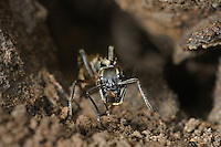 305150004 a wild texas bullet ant genus pachycondyla at the entrance to its colony den on a ranch in the rio grande valley of south texas