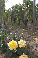 Vineyard with roses at the end of the rows. Chateau Malartic Lagraviere, Pessac Leognan, Graves, Bordeaux, France