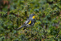 Male Yellow-rumped Warbler (Dendroica coronata) or Audubon's Warbler (Dendroica coronata auduboni) singing.  Western U.S., summer.