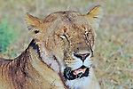 Lioness Panting