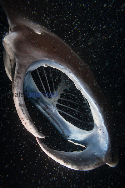 Reef Manta Ray (Manta alfredi) with mouth open to consume plankton at night, Big Island, Hawaii, USA.