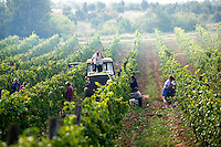grape harvest in the Balaton hills vineyards, Balaton, Hungary