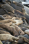 La Jolla Cove, San Diego, California; California Sea Lions (Zalophus californianus) piled on top of one another, resting on the rocky shoreline, as waves from the Pacific Ocean crash against the rocks