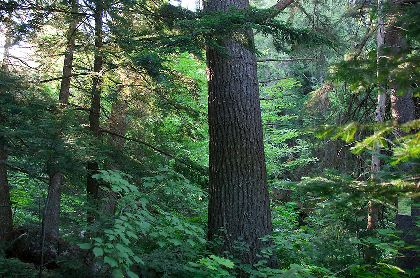 Old growth white pines along the Salmon Trout River near Marquette Michigan.