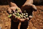 Palestinian Olive Harvest