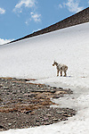 A mountain goat stands on a snowfield near Logan Pass in Glacier National Park, Montana.