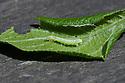 Caterpillar of winter moth (Operophtera brumata) on greengage leaf, early May.