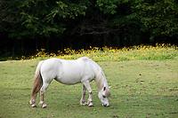 Welsh pony grazing in Snowdonia, Gwynedd, Wales