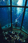 Giant kelp forest with scuba diver show at the Monterey Bay Aquarium Monterey Bay California USA
