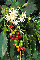Kona coffee plant, close-up of beans (red and green), with white flowers and leaves, Greenwell Farms, Kealakekua, Island of Hawaii