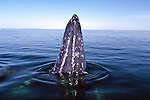 Gray Whale Spy Hop