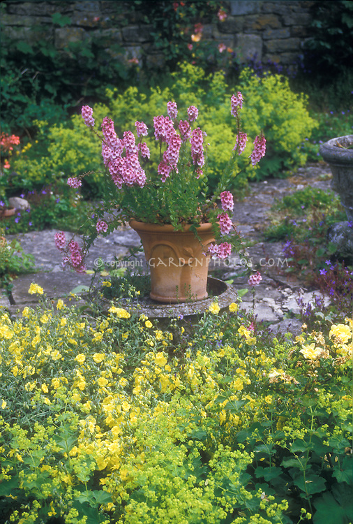 Diascia rigescens in specimen central planter container pot, Alchemilla mollis lady's mantle in bloom, roses, stone wall, in garden use
