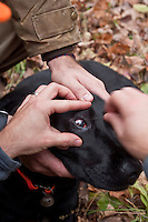 Hunters clean debris from the eyes of a black Labrador retriever after a day of upland bird hunting.