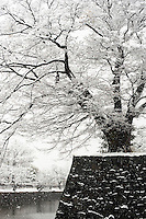 A snow-coated tree grows on the stone wall that rises up from the Matsumoto Castle moat, Nagano, Japan.