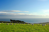 Sheep and farmland with windswept trees on the Otago Peninsula