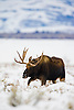 A Bull Moose forages during a winter storm in Jackson Wyoming.
