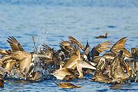 Flock of Pelican's and sea birds North shore Tortola