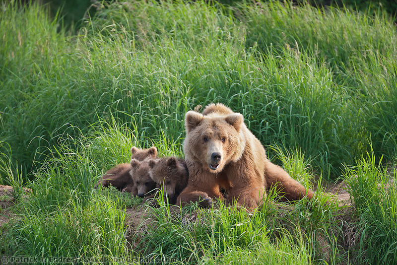 Brown bear sow and triplet spring cubs along the bank of the Brooks river, Katmai National Park, southwest, Alaska.