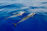 pantropical spotted dolphins spouting, Stenella attenuata, Kona Coast, Big Island, Hawaii, USA, Pacific Ocean