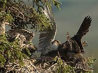 Jaktfalk i reir. ---- Gyrofalcon in nest.