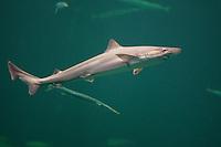 Hundshai, Hunds-Hai, Hai, Haie, Haifisch, Galeorhinus galeus, school shark, tope shark, soupfin shark, snapper shark