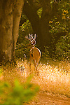 Portrait of a Buck #2, Auburn, California.