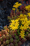 Stonecrop growing and blooming on the dry slopes of Mt Hood