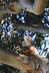 Peregrine falcon in eucalyptus tree in Santa Cruz