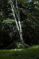 New England woods, forest, white birch tree, NH, USA