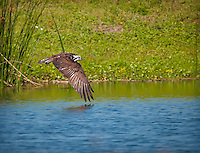 Osprey flying low over water with wings down, reflection of wing is visible in water