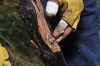 Hands Grafting Wine Grapes, Macari Vineyard, 150 Bergen Avenue  Mattituck,New York, USA