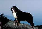 Bernese Mountain Dog<br /> <br /> Shopping cart has 3 Tabs:<br /> <br /> 1) Rights-Managed downloads for Commercial Use<br /> <br /> 2) Print sizes from wallet to 20x30<br /> <br /> 3) Merchandise items like T-shirts and refrigerator magnets