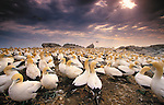 Cape Gannet, Atlantic Coast, South Africa