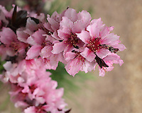 Small Ornamental Peach Tree blossoms in spring. Central Texas.