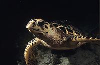 Hawksbill turtle at night<br /> Virgin Islands