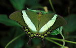 Emerald swallowtail (Papilio palinurus) with wings open, green colours.Borneo....