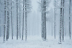 A Grove of trees in a snowstorm, Oldtown, Idaho.