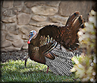 Male wild turkey strutting with feathers spread