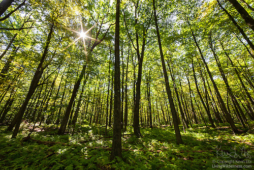 Sun Shining Through Forest Canopy, Proposed Addition to the Hickory Creek Wilderness, Allegheny National Forest, Pennsylvania