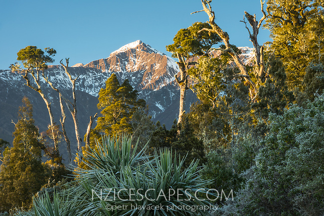 Winter morning scene with native forest and Southern Alps near Lake Wahapo and Whataroa, Westland Tai Poutini National Park, UNESCO World Heritage Area, West Coast, South Westland, New Zealand, NZ