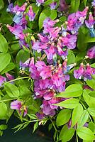 Lathyrus vernus 'Dama Violetta'